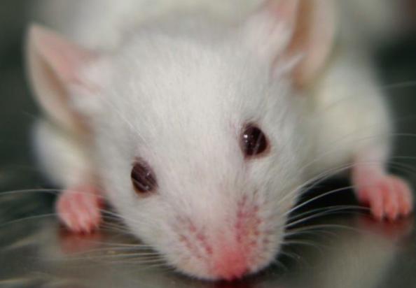 Un rat blanc de laboratoire.